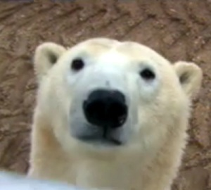 The live Polar Bear Cam came online this week, so we're able to see what